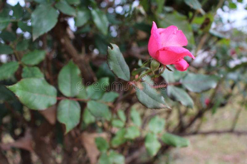 Décembre Rose image stock