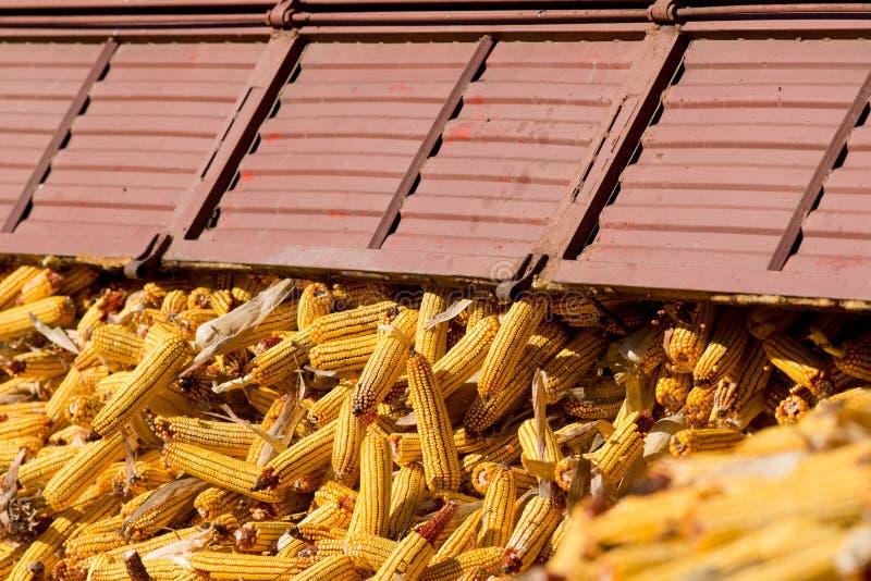 Déchargement de l'épi de maïs après récolte photos stock