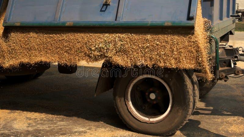 Déchargement du grain de maïs de la remorque de tracteur photo libre de droits