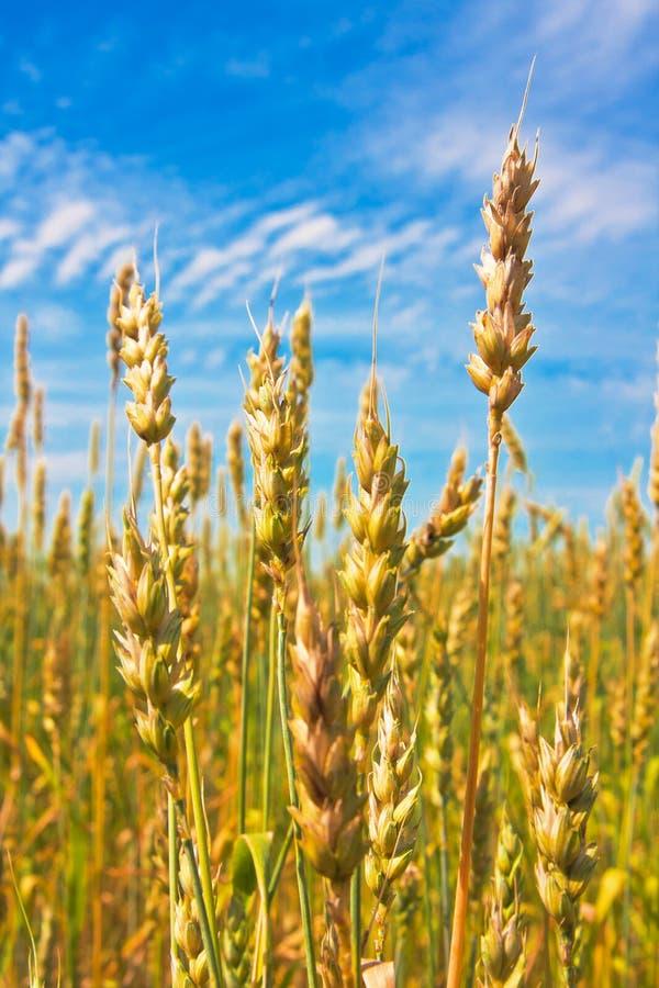 Déchirure des oreilles de blé photos libres de droits