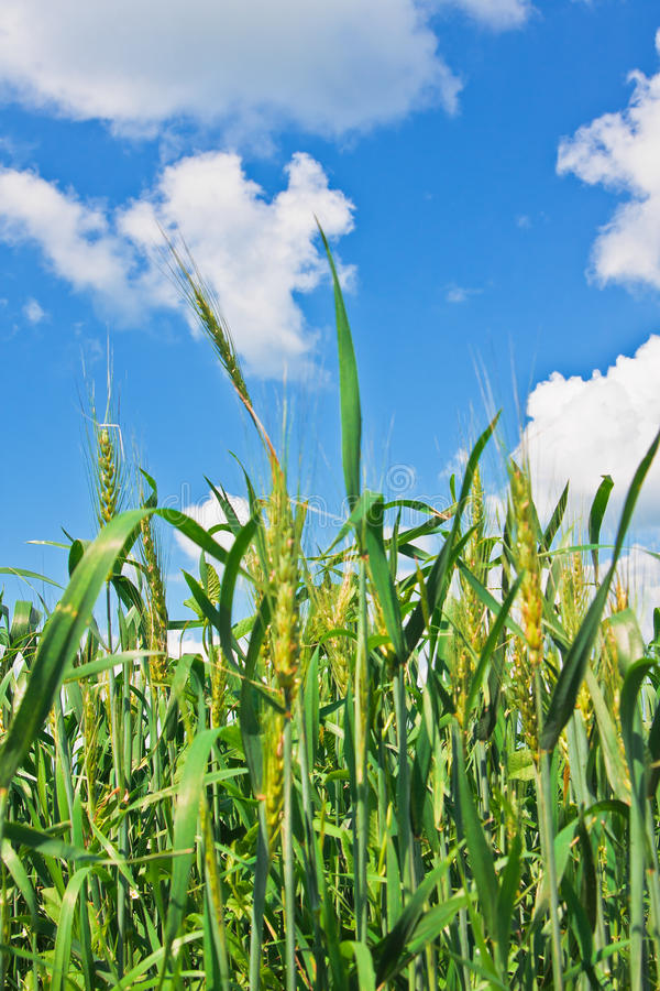 Déchirure des oreilles de blé et du ciel nuageux photos stock