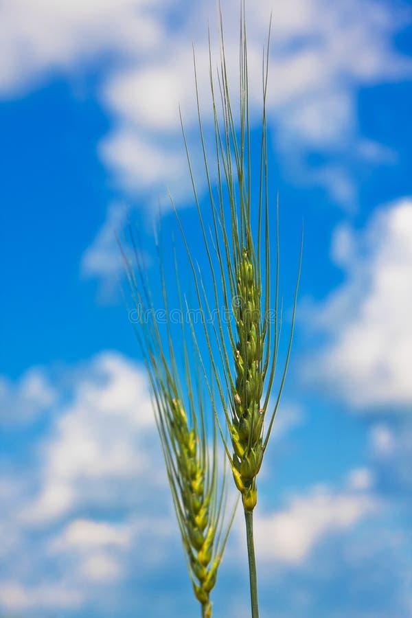 Déchirure des oreilles de blé et du ciel nuageux photo libre de droits