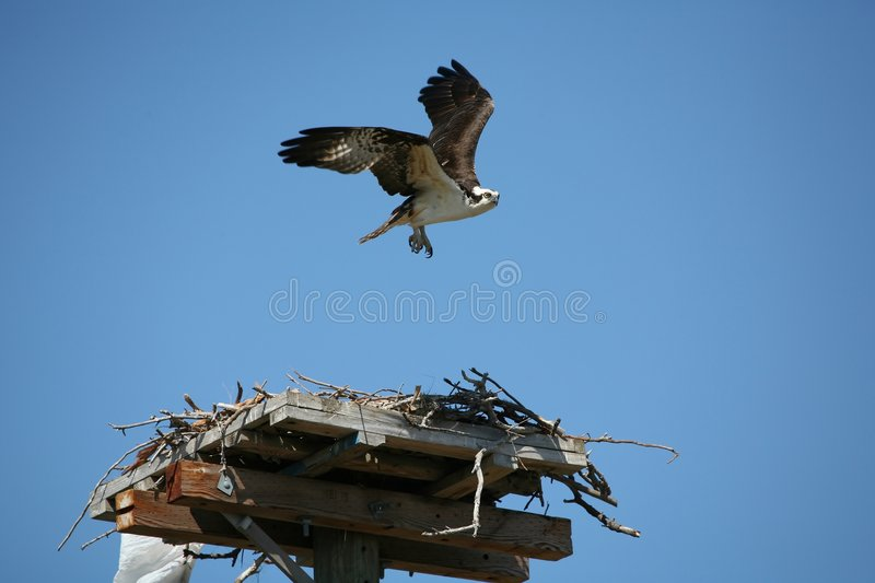 Décollage d'Osprey photographie stock