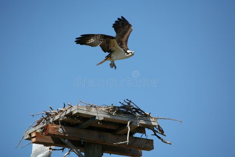 Décollage d'Osprey photographie stock