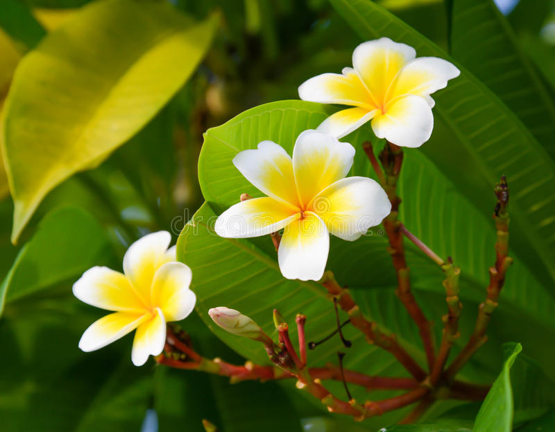 Décoration de fleur de Plumeria image libre de droits