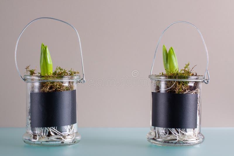 Décoration faite maison de jeunes jacinthes dans le pot en verre photo stock