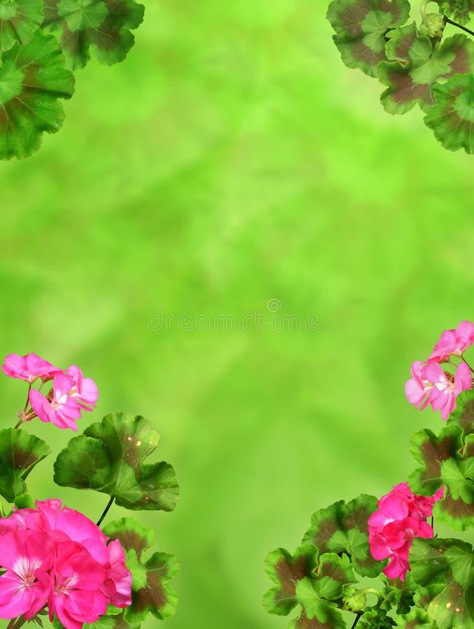 Décoration rose rouge d'usine de jardin d'été de fond de géranium illustration stock