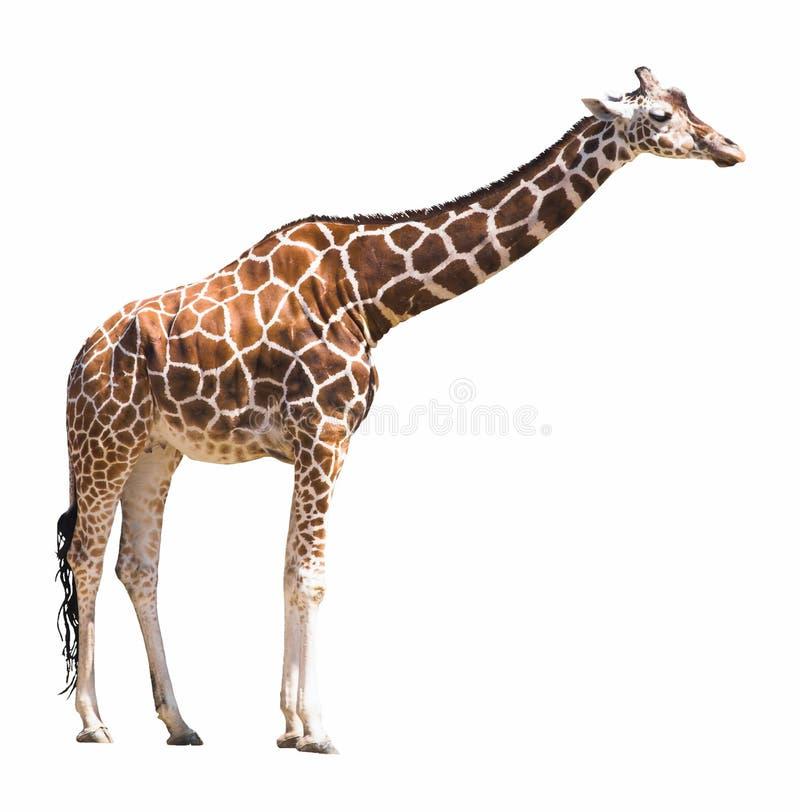 Découpage de giraffe photos libres de droits