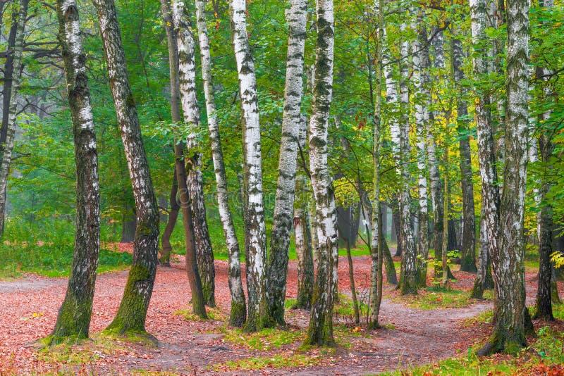 Décrivez beaucoup d'arbres de bouleau en parc photo stock