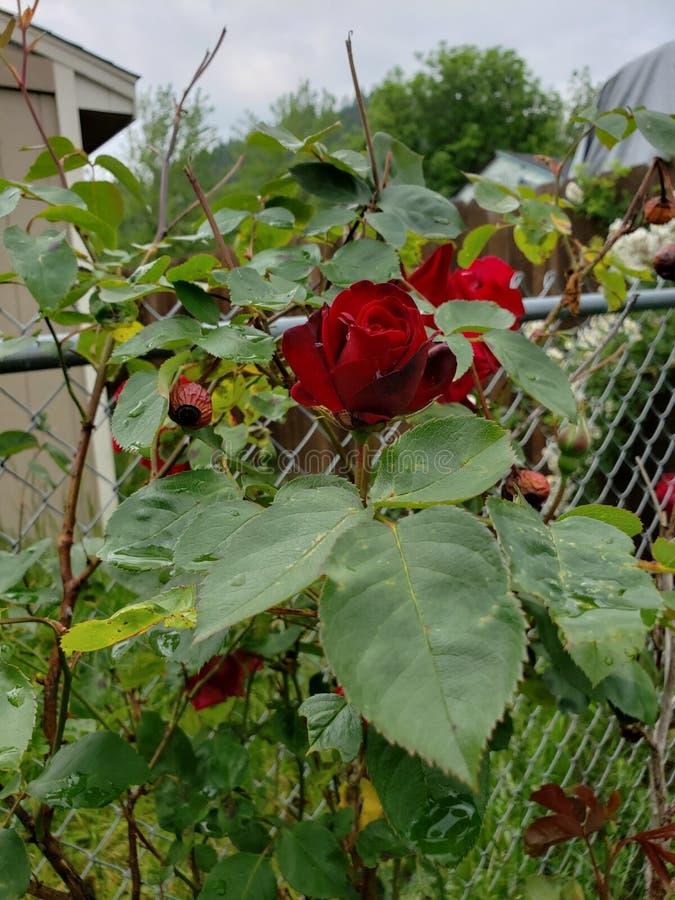 D?funt ressort Rose Blooms image libre de droits