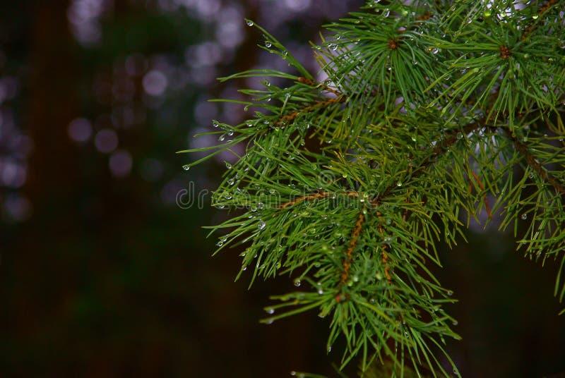 Dégel, branche de pin photo libre de droits
