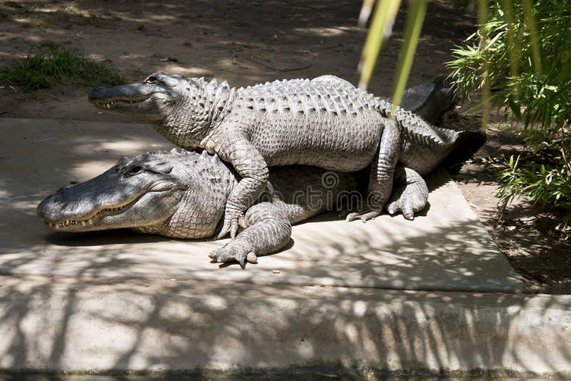 Dépassement de deux alligators photo libre de droits