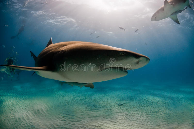 Dépassement du requin images libres de droits