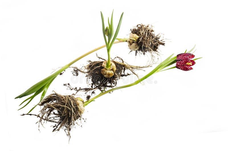 Déraciné et fleurissant toujours, les jeunes ont quadrillé la jonquille Fritilla photo libre de droits