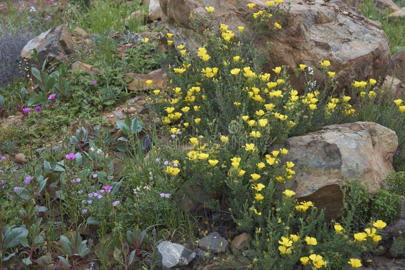 Désert d'Atacama en fleur photographie stock