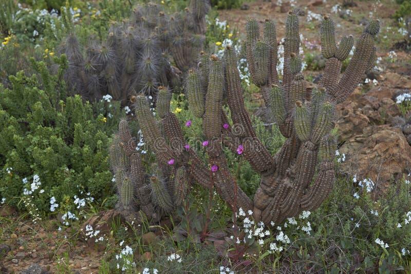 Désert d'Atacama en fleur photo libre de droits