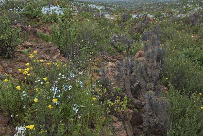 Désert d'Atacama en fleur photos libres de droits