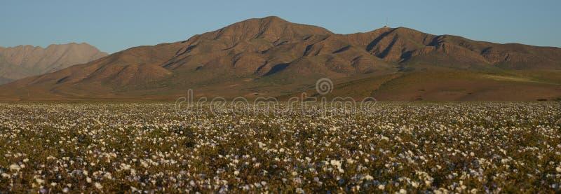 Désert d'Atacama en fleur image stock