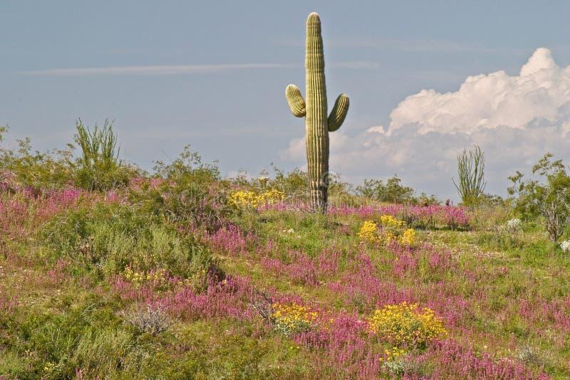 Désert de floraison. images stock