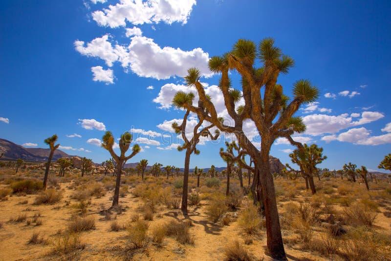 Désert la Californie de Mohave de vallée de Joshua Tree National Park Yucca images libres de droits
