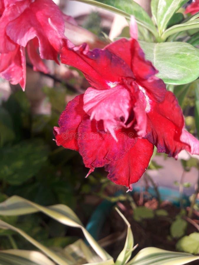 Désert Rose image libre de droits
