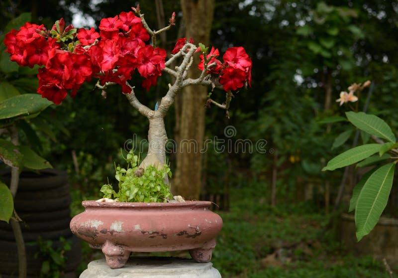Désert Rose, lis d'impala, faux arbre d'azalée ou obesum d'Adenium photo stock