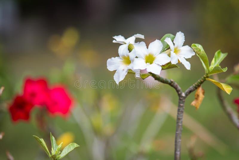 Désert rose ou arbre de fleur de Ping Bignonia photographie stock libre de droits