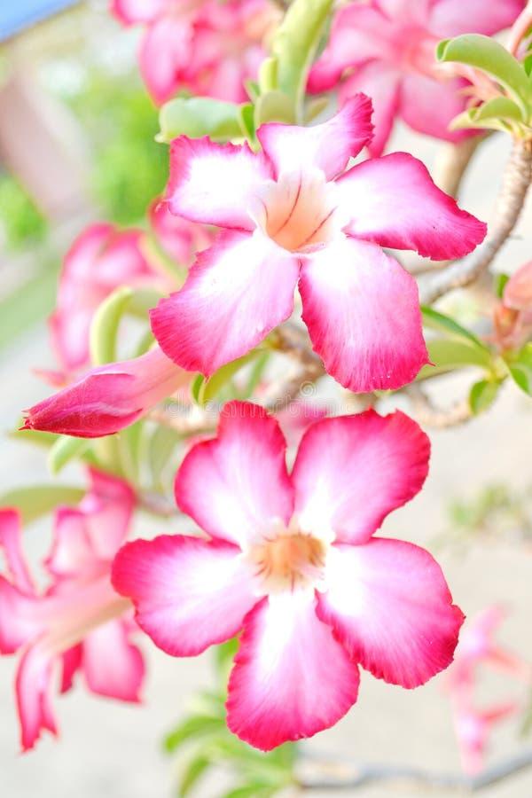 Désert rose ou fleur de Ping Bignonia images libres de droits