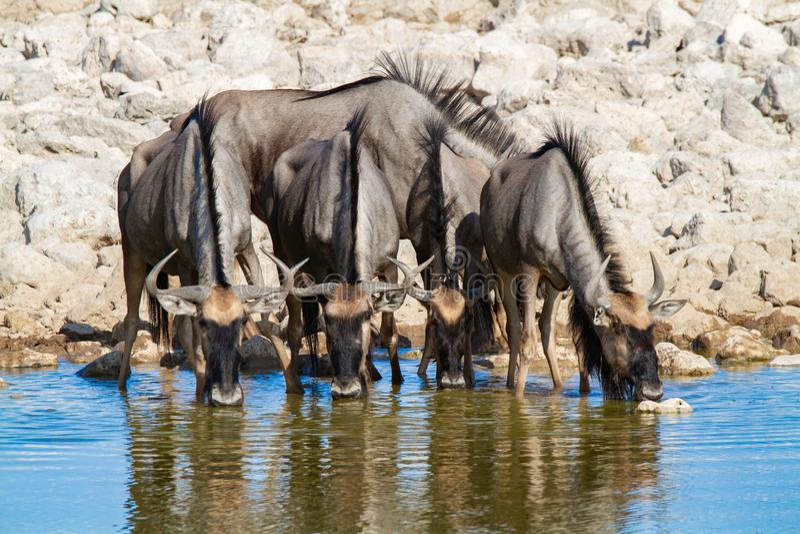 Déserts et nature bleus de la Namibie de gnou en parcs nationaux photo libre de droits