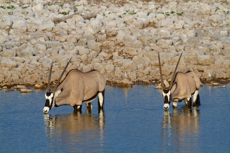 Déserts et nature de la Namibie d'oryx de Gemsbok en parcs nationaux photographie stock