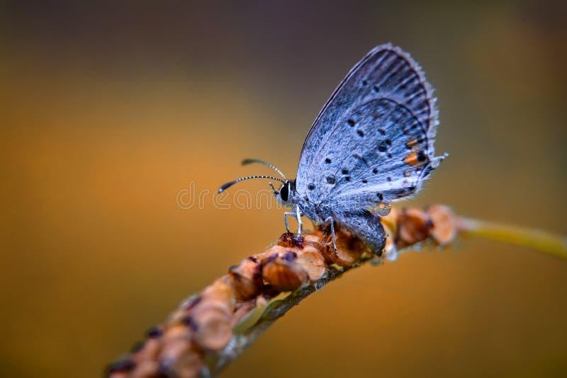 Détail bleu coupé la queue oriental de papillon images stock