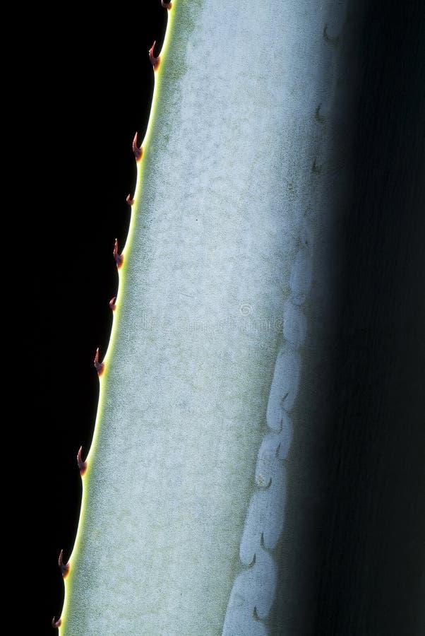 Détail bleu d'agave image stock