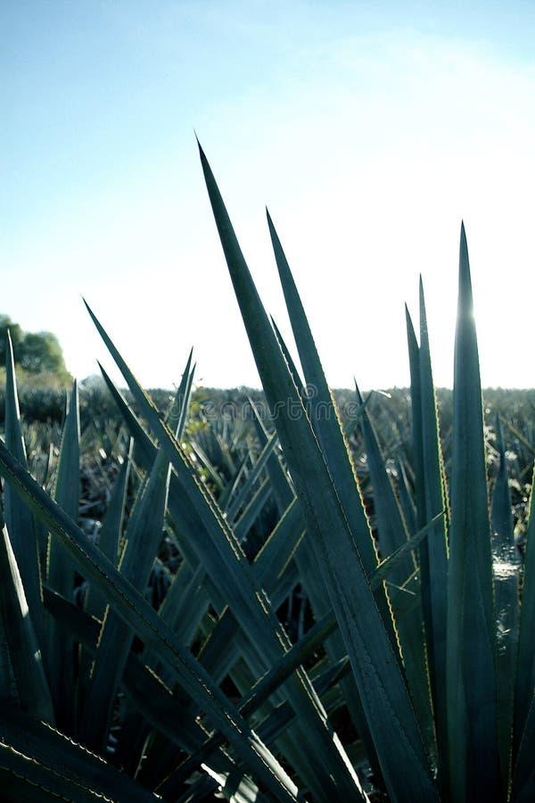 Détail bleu d'agave photos stock
