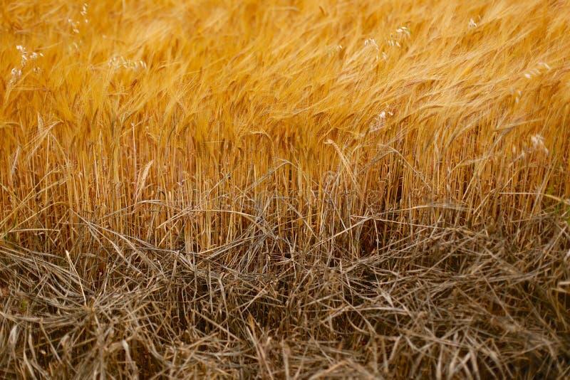 Détail chaud mou de plante cultivée d'orge photos stock