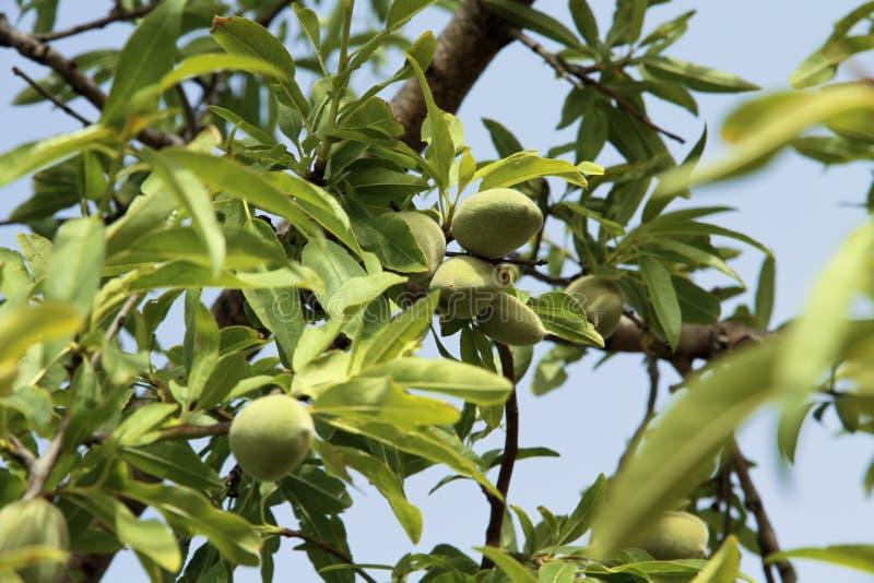 Détail d'arbre d'amande photographie stock libre de droits