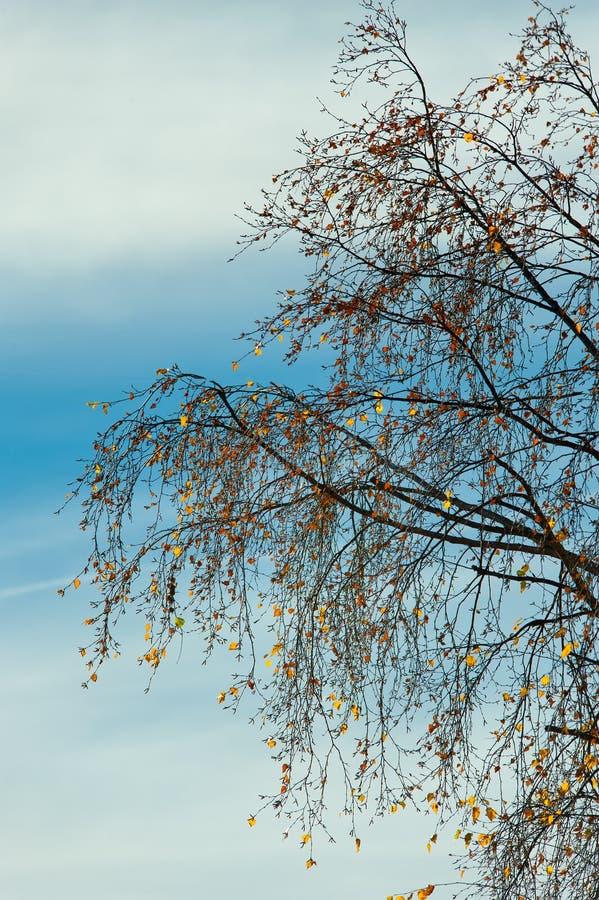 Détail d'arbre de bouleau image libre de droits