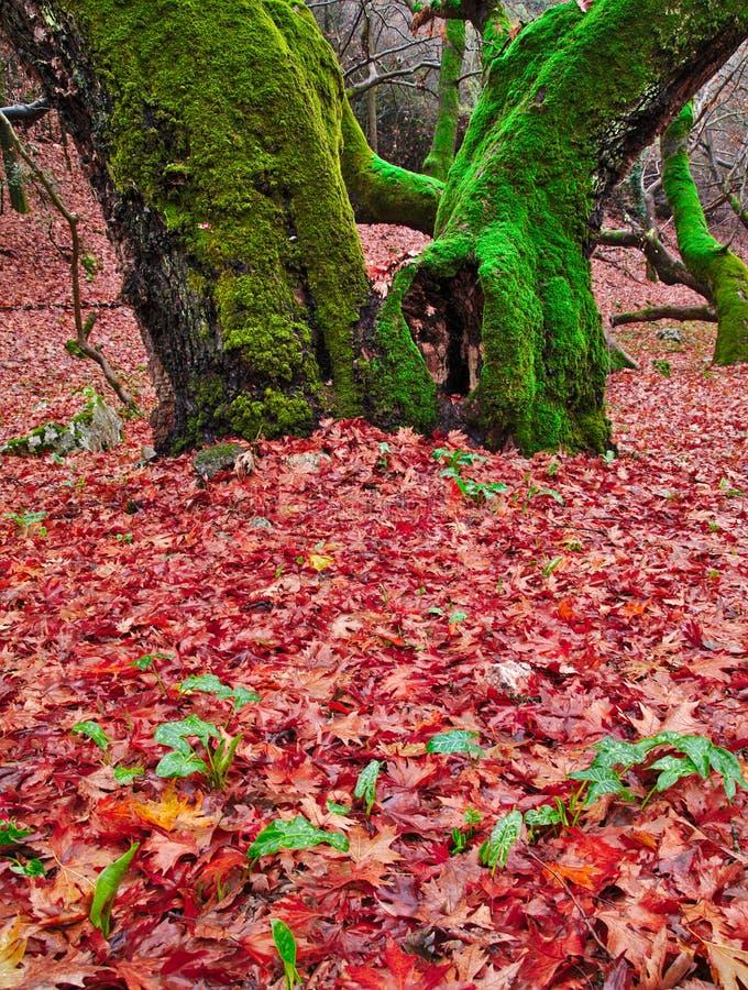 Détail d'arbre plat de sycomore avec deux troncs en automne image stock