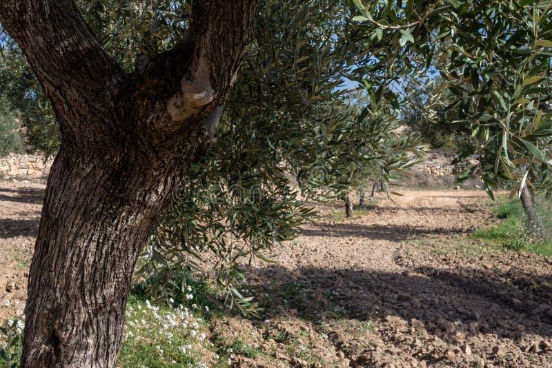 Détail d'olivier dans le domaine images stock