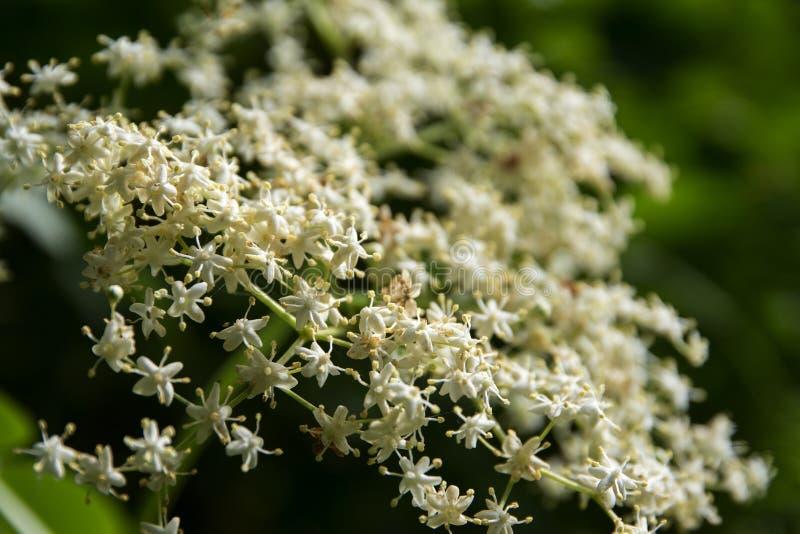 Détail d'un umbel de fleur de sureau (nigra de Sambucus) dans le jardin, c photo stock