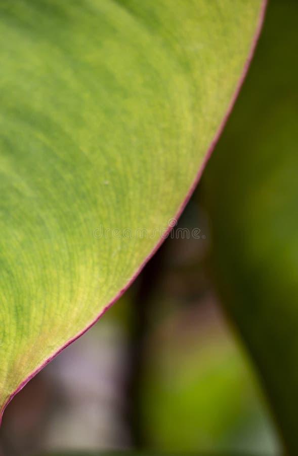 Détail d'une feuille verte avec la marge pourpre photographie stock