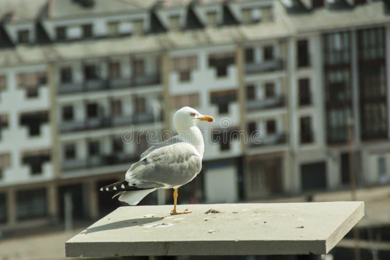 Détail d'une mouette étée perché sur le toit en Asturies photos libres de droits