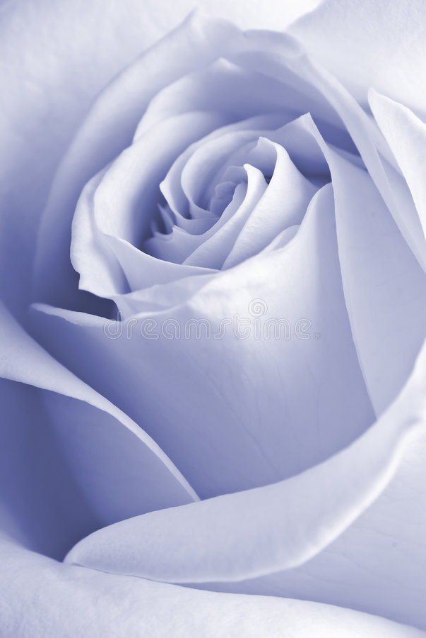 Détail d'une rose photos libres de droits