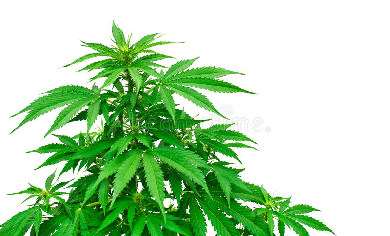 Détail d'usine de marijuana image stock