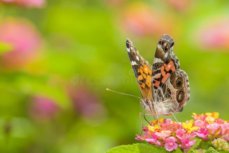Détail de alimentation de papillon image stock