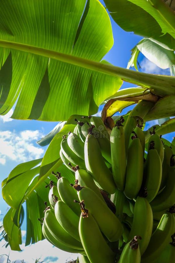 Détail de bananier, île de Pâques photographie stock libre de droits