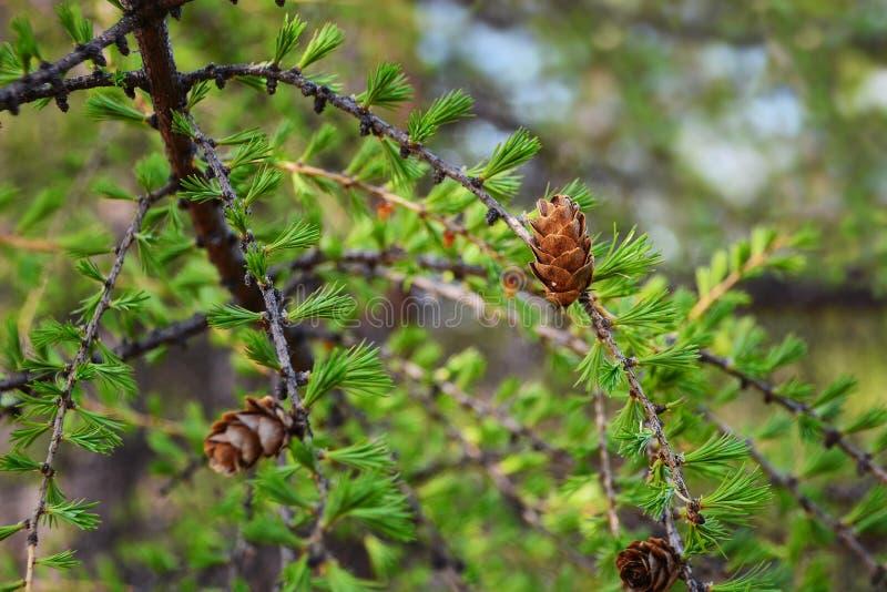 Détail de cône et d'aiguilles de mélèze Cône de mélèze au printemps, foyer mou, plan rapproché image stock
