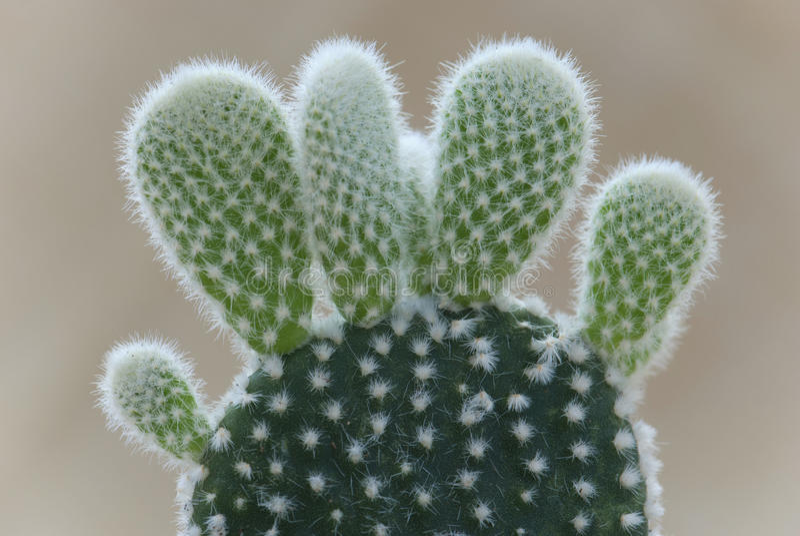 Détail de cactus d'oreilles de lapin (microdasys d'opuntia) images libres de droits