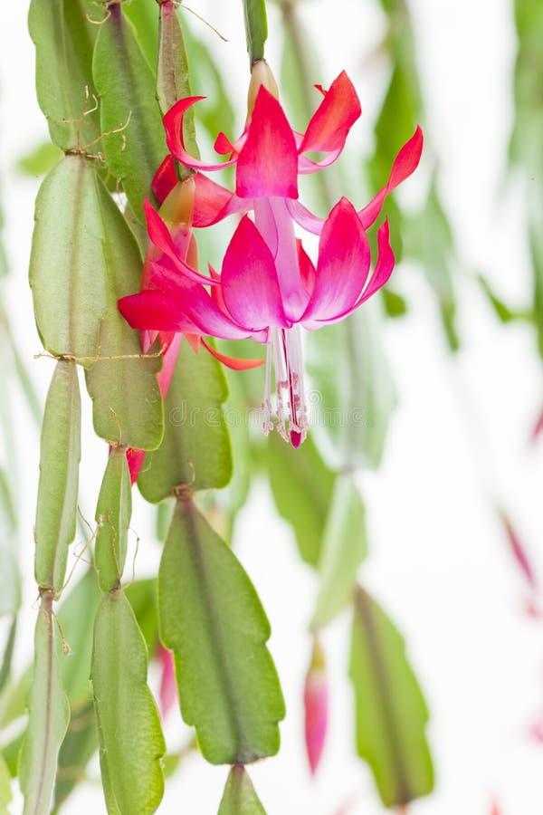 détail de cactus de Noël image stock