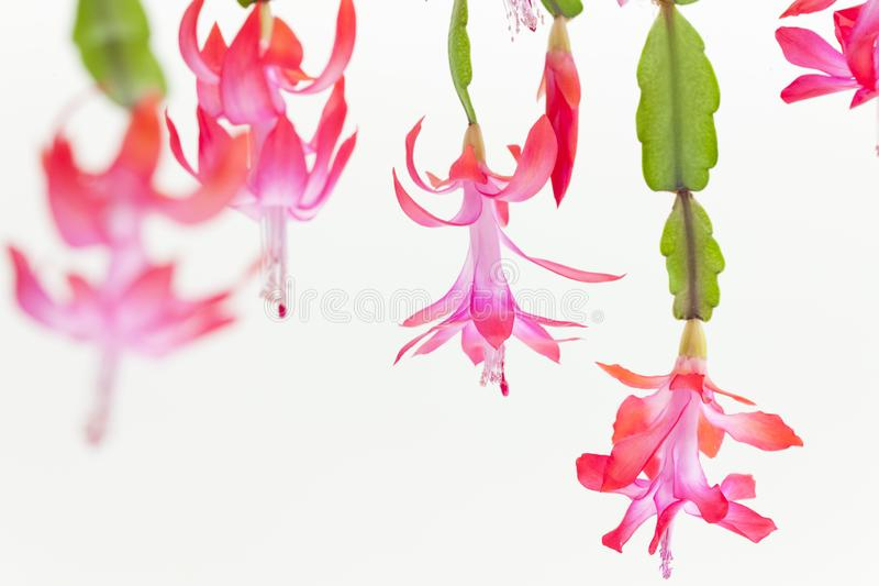 détail de cactus de Noël photo libre de droits