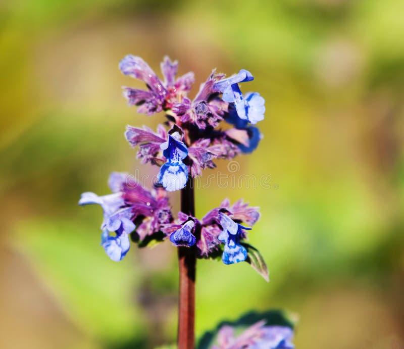 Détail de catmint géant - grandiflofa de Nepeta - avec les fleurs bleues image stock